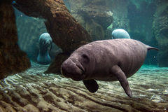 Newborn baby manatee close up portrait Stock Photos