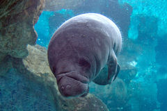 Newborn baby manatee close up portrait Royalty Free Stock Image
