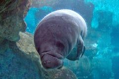 Newborn baby manatee close up portrait Royalty Free Stock Image
