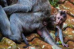 A newborn baby monkey learns to crawl stock photos