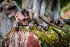 A newborn baby monkey learns to crawl royalty free stock images