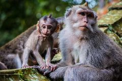 A newborn baby monkey poses with his mother stock photo