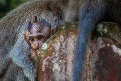 A newborn baby monkey snuggles mom for warmth royalty free stock photos