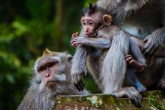 A newborn baby monkey snuggles mom for warmth stock image