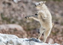 A Baby Mountain Goat Lamb Frolicking in the Snow. A Newborn Baby Mountain Goat Kid Having Some Fun in the Snow stock images