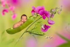 Newborn baby in a peapod Stock Images