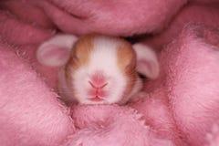 Newborn baby pet rabbit lop bunny bunnies rabbits kit kits super cute animal babies stock photos