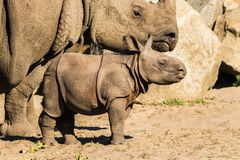 A newborn baby Rhino with mother at the zoo. Mammals royalty free stock photo