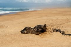 Newborn baby seal throwing sand on himself, empty sand beach, California royalty free stock photography