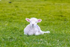 Newborn baby sheep on green gras. In England royalty free stock image