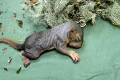 Newborn baby squirrels Royalty Free Stock Images