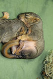 Newborn baby squirrels Royalty Free Stock Photo