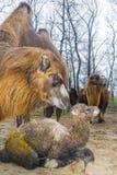 Newborn Bactrian верблюд Стоковые Изображения RF