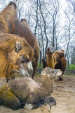 Newborn Bactrian верблюд Стоковая Фотография RF