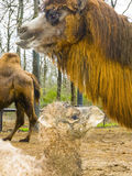 Newborn Bactrian верблюд Стоковые Изображения