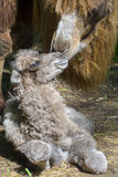Newborn Bactrian camel (Camelus bactrianus) Royalty Free Stock Images