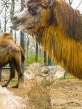 Newborn Bactrian camel Stock Images