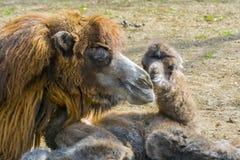 Newborn Bactrian camel Royalty Free Stock Photo