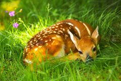 Newborn Bambi Stock Photos