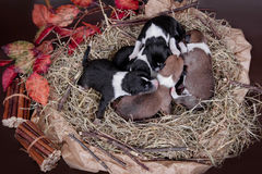 Newborn basenji puppies (first day) Royalty Free Stock Image