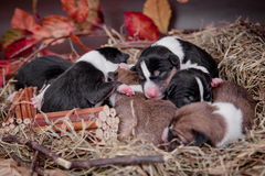 Newborn basenji puppies (first day) Stock Images
