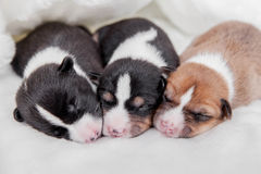 Newborn basenji puppies Royalty Free Stock Photo