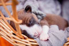 Newborn basenji puppy Stock Photography