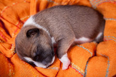 Newborn basenji puppy Royalty Free Stock Photos