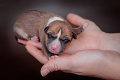 Newborn basenji puppy (first day) Royalty Free Stock Images