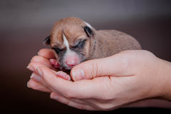 Newborn basenji puppy (first day) Stock Photo
