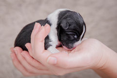 Newborn basenji puppy (first day) Royalty Free Stock Photos
