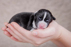 Newborn basenji puppy (first day) Royalty Free Stock Photos