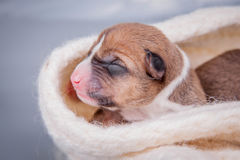 Newborn basenji puppy (first day) Stock Images