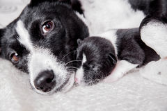 Newborn basenji puppy with mother Stock Images