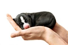 Newborn Basenji puppy on white Royalty Free Stock Photography