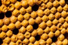 Newborn bee on honeycomb Stock Photography