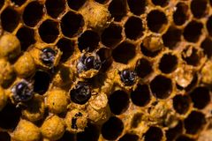 Newborn bee on honeycomb Royalty Free Stock Images