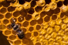 Newborn bee on honeycomb Stock Photo