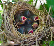Newborn bird cry for food in the nest Stock Photo