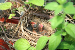 Newborn birds Stock Image