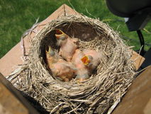 Newborn birds royalty free stock images