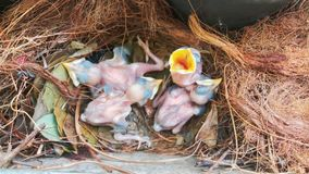 Newborn birds in the nest royalty free stock photos