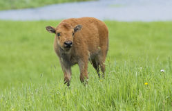 Newborn bison Royalty Free Stock Photos