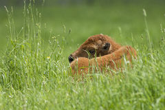 Newborn bison Stock Photography