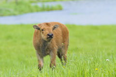 Newborn bison Royalty Free Stock Photo