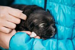 Newborn Black Puppy Sleeps On Girls Hand Stock Photography
