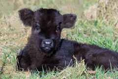 Newborn black scottish highlander calf lying in grass Royalty Free Stock Photo