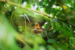 Two Blackbird chicks in a hidden nest with mother on top, Salzburg, Austria royalty free stock images