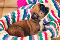 Newborn boxer puppy Royalty Free Stock Photo