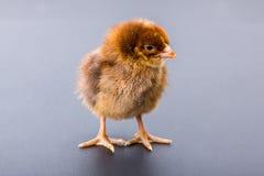 Newborn brown chicken on black Stock Image